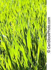 blades of wheat