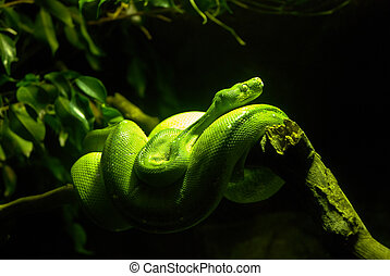 Green Boa Snake coiled on a branch