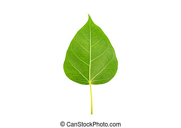 Green bodhi leaf on white background