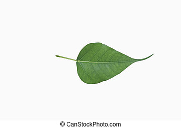 Green bodhi leaf vein on white background