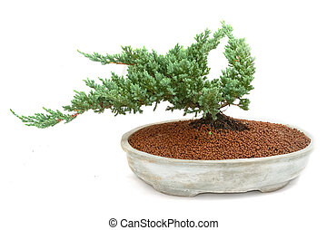 green bonsai tree of pine in pot on white background