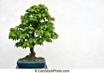 Green bonsai tree planted in blue bowl on white background