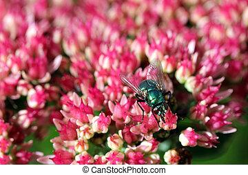 Green bottle fly on Sedum Flowers
