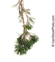 Green branch of a juniper with berries and needles on...