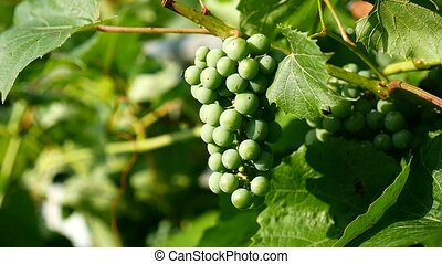 green branch of a large video grape - green branch of large...