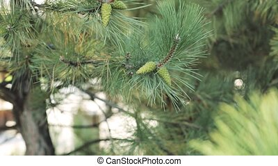 Green branch of pine tree with young cone, close-up. sunny day