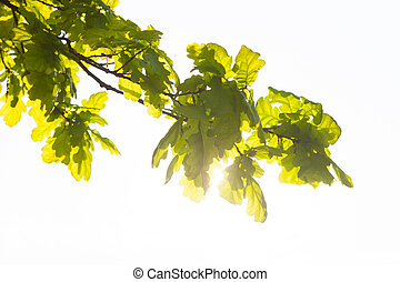 Green branch of the oak tree in the sunshine