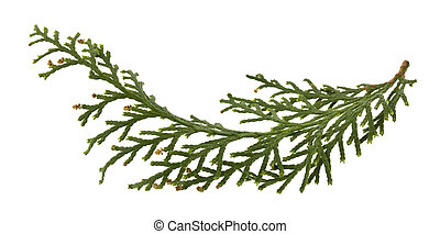 Green branch of thuja isolated on a white background close-up.