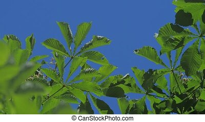 Green branch tree chestnut leaves with sunny blue sky. -...