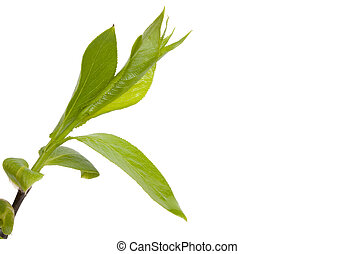 Green branch, young sproutss with leaves, isolated on white background and an empty place for your text. Close-up.
