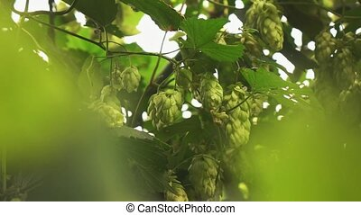 green branches and cones of hops sway from the wind on a ...