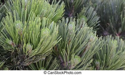 green branches of a pine background - green branches of a...