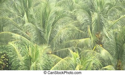 Green branches of coconut palm trees are swaing in the wind in the tropical rain