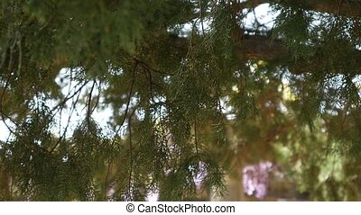 Green branches of cypress in Montenegro forest