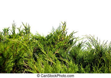 Green branches of juniper isolated on white background
