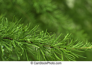 Green branches of larch on blur background.