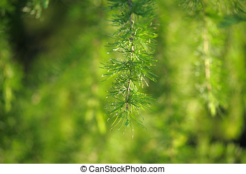 green branches of larch