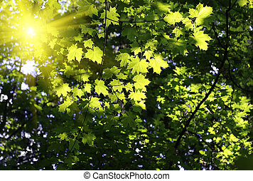 Green branches of maple with sunlight
