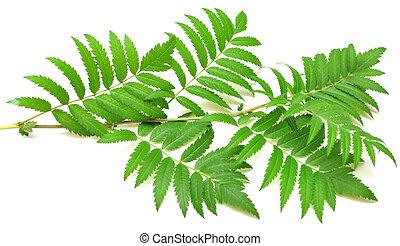 green branches of mountain ash
