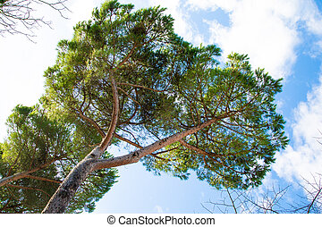 Green branches of pine against the blue sky