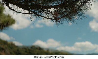 Green branches of pine growing on edge forest on summer day....