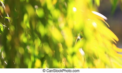Green branches of willow - Green branches of a willow, the...