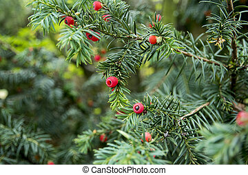 Green branches of yew tree with red berries
