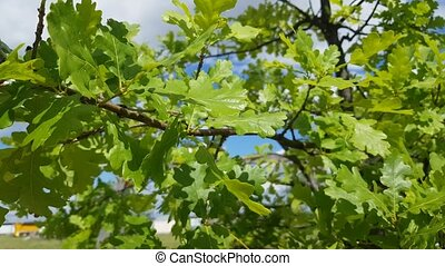 Green bright young oak leaves in sunlight on blue sky...