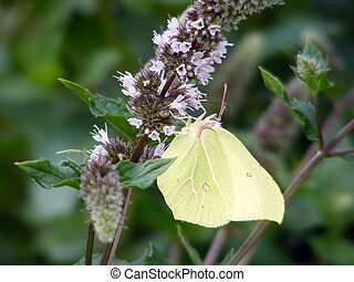 Green brimstone butterfly