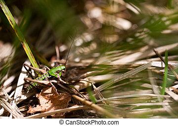 Green brown grasshopper on grass