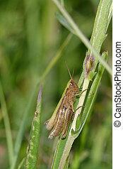 Green brown grasshopper
