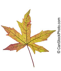 Green brown Japanese maple leaf