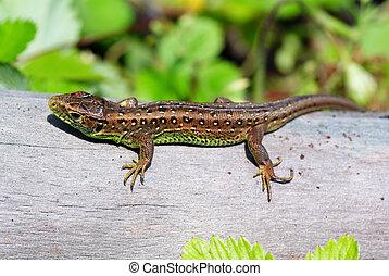 lizard - green- brown lizard on tree in forest