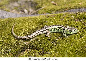 lizard - green- brown lizard warm oneself on sun