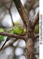 Green budgerigar in a tree