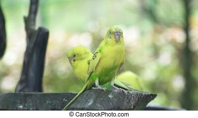 Green budgerigar sitting on branch in wild nature. Close up green parrot bird on tree branch outdoor.