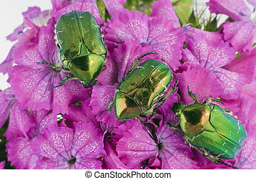 Green bugs on pink flowers - Three emerald gold bugs...