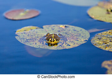 Green bullfrog and water lily leaves