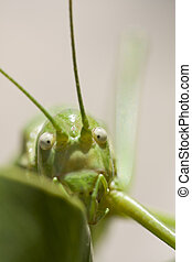 Green bush-cricket
