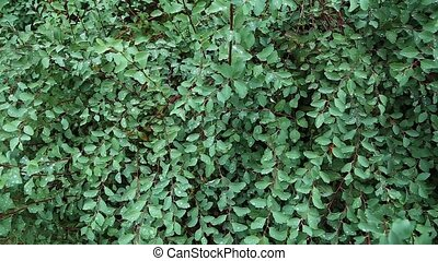green bush in dew - close-up of green bush in dew, fresh...