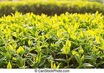 green bush leaves in backlight morning light, coarsely