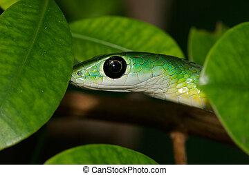 Green bush snake
