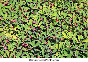 Green bush with pink flowers as textured background or backdrop.