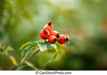 green Bush with red ripe rose hip