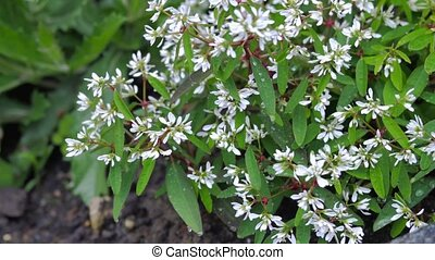 Green bush with small white flowers.