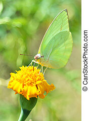 Green butterfly feeding on yellow flower marigold in the garden nature background