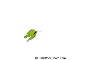 Green Butterfly Flies on a Blue Background