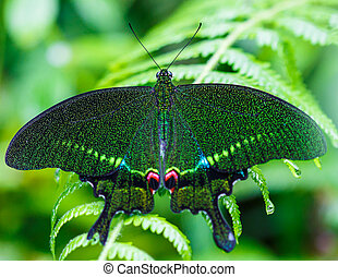 green butterfly with green background at Doi Inthanon ...