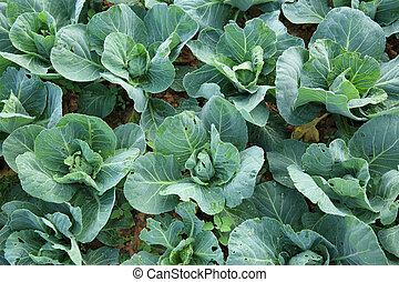 green cabbage crops in growth at field