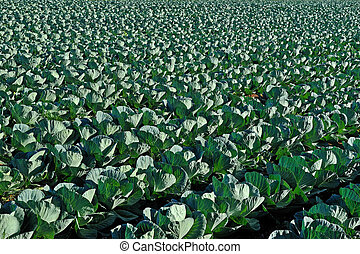Green cabbage field